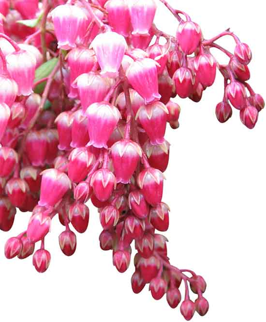 Spring flowering shrubs visitvortex magazine articles we love the early spring blooming pieris shrubs because they have it all flowers check evergreen check deer resistant check check and shade loving mightylinksfo