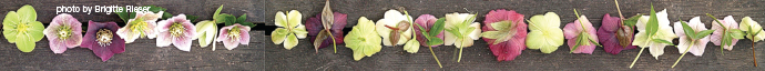 hellebores images