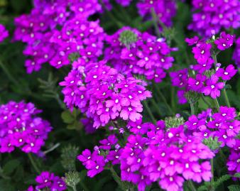 Little purple flowers annuals flowers healthy image 543 jpg mightylinksfo