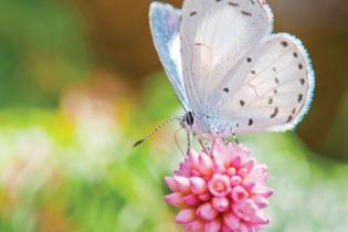 A GUIDE TO HUDSON VALLEY butterflies
