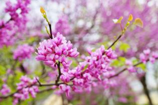 FAVORITE SPRING FLOWERING TREES